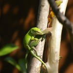 Green Anole - Mating Behavior