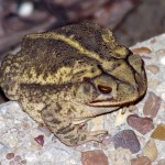 Gulf Coast Toad - A Cool Spring Night