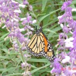 Monarch Butterfly - At the State Fair of Texas