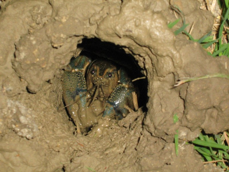 I returned to the burrow a few minutes later, and was able to secure a photograph of this large crayfish carrying a load of mud to the top of its burrow.