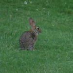 Eastern Cottontail - Bad Ear