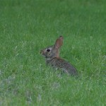 Eastern Cottontail - Juvenile