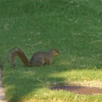 Fox Squirrel - Taking a Break