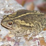 Gulf Coast Toad - Variations