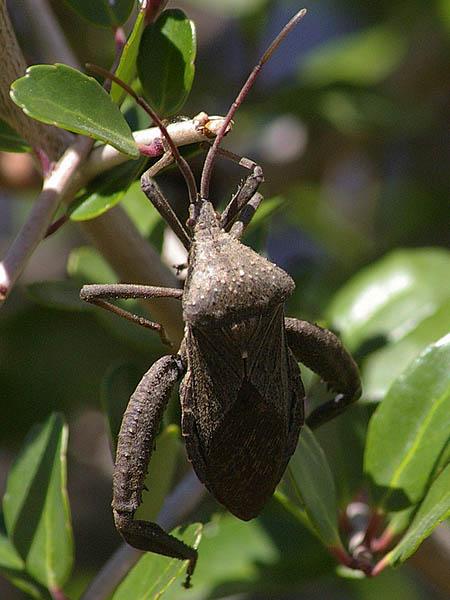 Leaffooted Bug - Acrobat