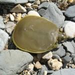 Pallid Spiny Softshell Turtle - Juvenile