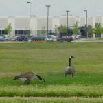 Canada Goose - Vacant Lot