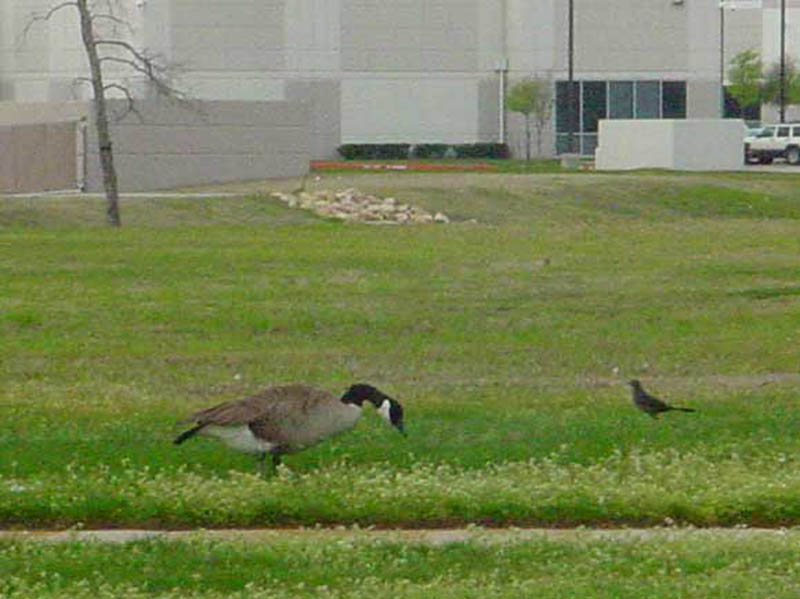 Another shot of the Canada Goose eating grass. That's a female Great-tailed Grackle in the background.