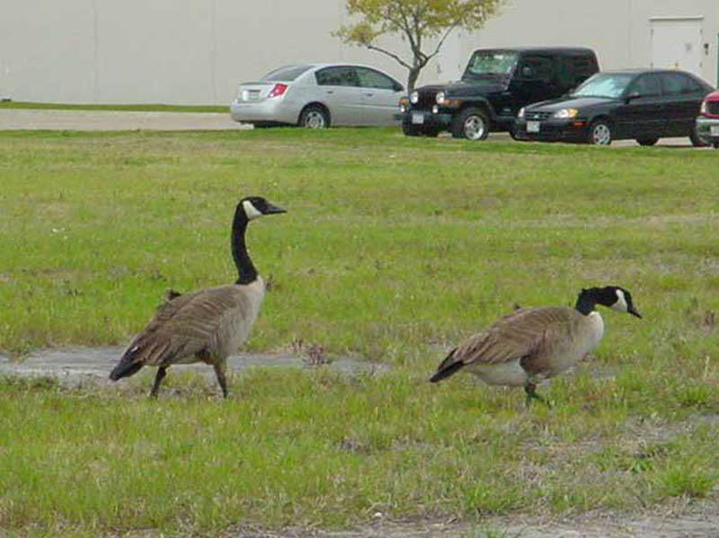 This pair of Canada Geese were very tame. I was able to approach within 10 to 15 feet for this shot.