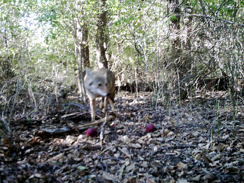In this picture the Coyote emerges from behind the brush and cautiously approaches the apples.