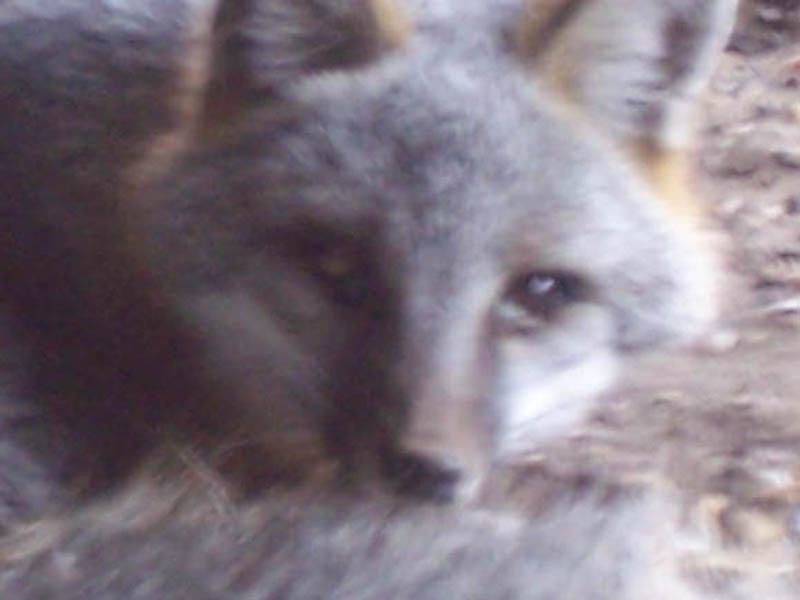 If you look closely at this photo you can see the heavy yellow discharge in the fox's eyes. His left eye is in especially bad shape.