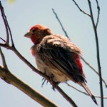 House Finch - Preening