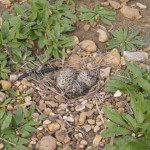 Killdeer - Gravel Nest