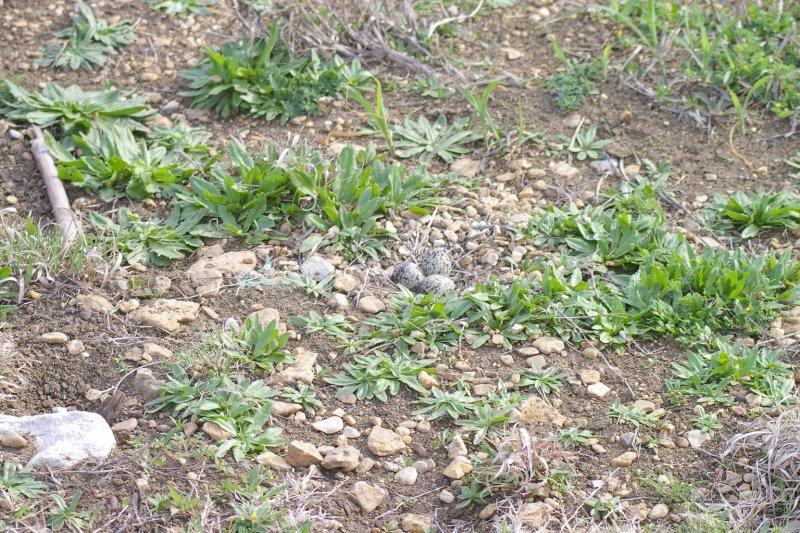 The female Killdeer on her nest.