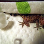 Mediterranean Gecko – Just Hatched