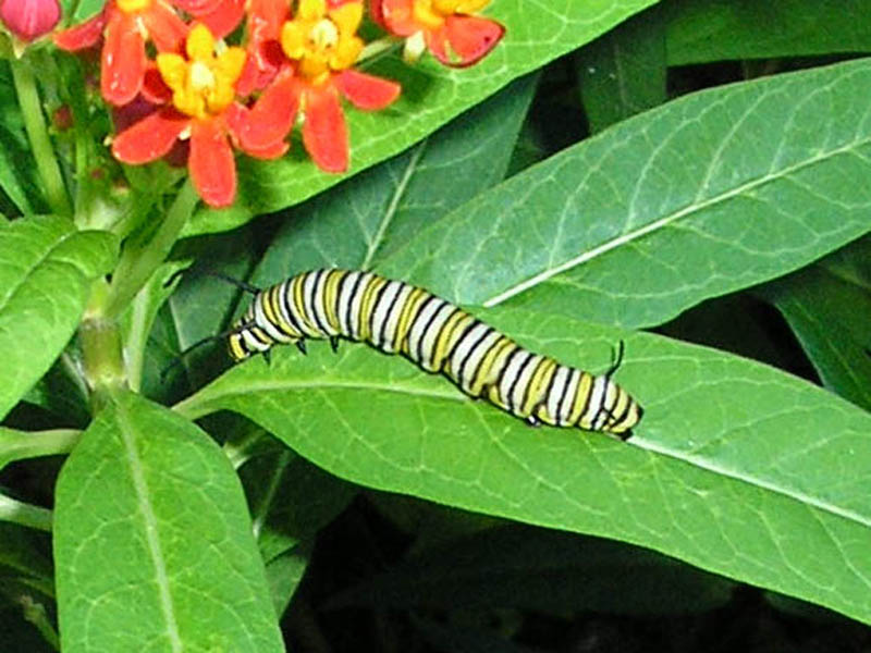 Monarch Butterfly – Caterpillar