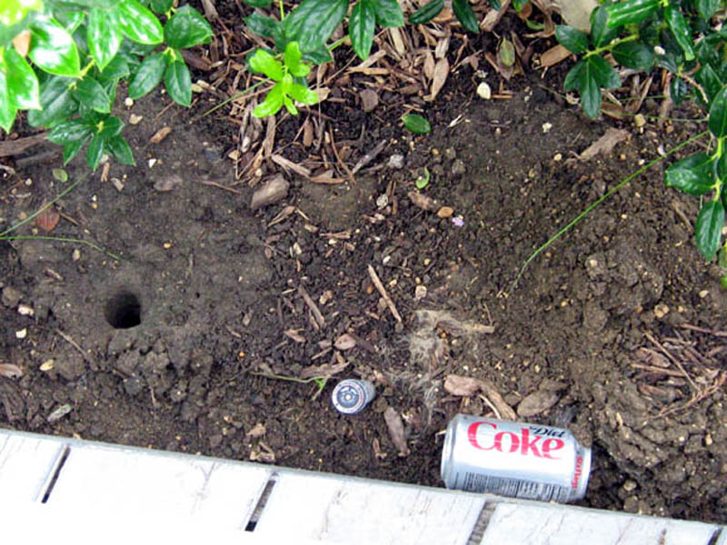 Two more Parkhill Prairie Crayfish burrows. The one on the left is open and without a chimney, and the one on the right (just above and to the right of the coke can) has a small chimney and is capped.