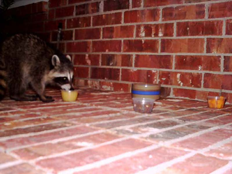Every night, at around 3:00 am, the Raccoon pays our front porch a visit. He follows the same path in and out every time. Because of this, I believe he must spend his days under a construction trailer just behind our house.