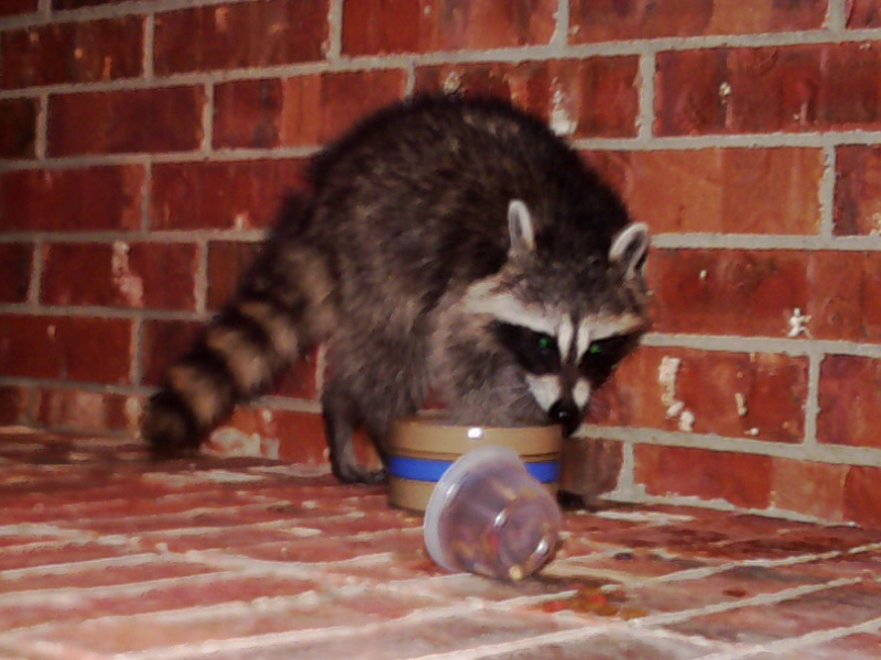 After eating just a bit of the dry cat food, the Raccoon went to the water dish and thoroughly wet his front paws.
