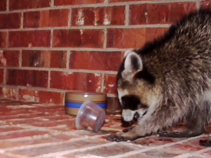 After wetting his front paws in the water dish, the Raccoon then began to knead the dry cat food, moistening it.