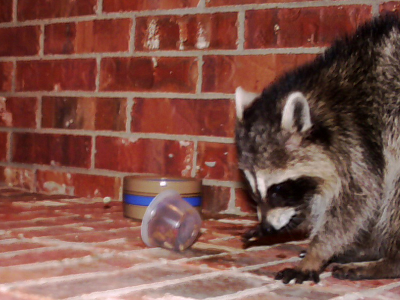 This is another view of the Raccoon moistening the dry cat food with his wet front paws before eating it.