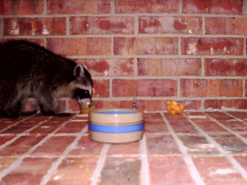 A few days after I first observed this juvenile Raccoon, I setup a scouting camera (an automatic camera with a motion detector) on my front porch, and baited it with applesauce, cheddar cheese cubes, and water.  In this picture he is eating applesauce.
