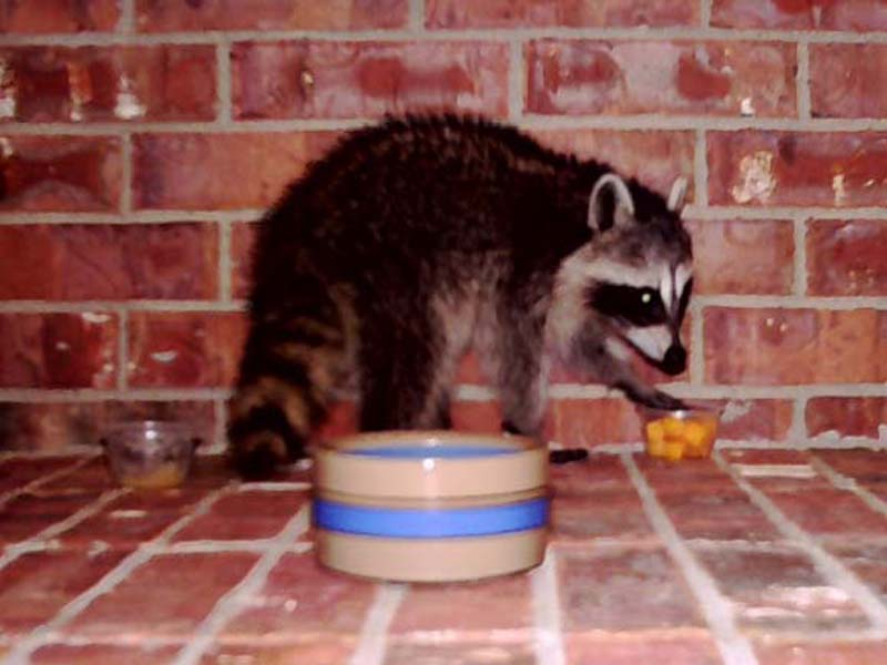 Minutes later the Raccoon moved on to the cheddar cheese cubes.