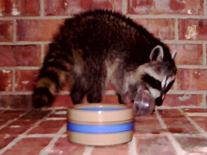 After just 10 minutes, the Raccoon had eaten all of the food I put out for him.