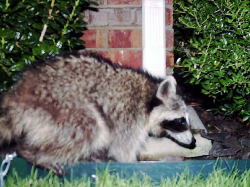 Here the Raccoon is approaching the front porch from the rear of the house, offering a bit of support for my theory that the Raccoon spends his days under a construction trailer behind our house.