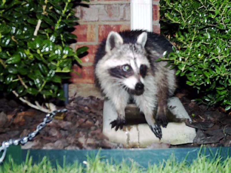 Ten minutes later the Raccoon has finished his meal of cheese and applesauce.