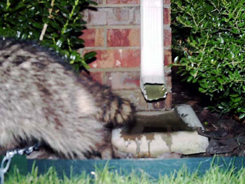 The Raccoon retreats from our front porch and heads back in the direction he came from—the rear of the house.