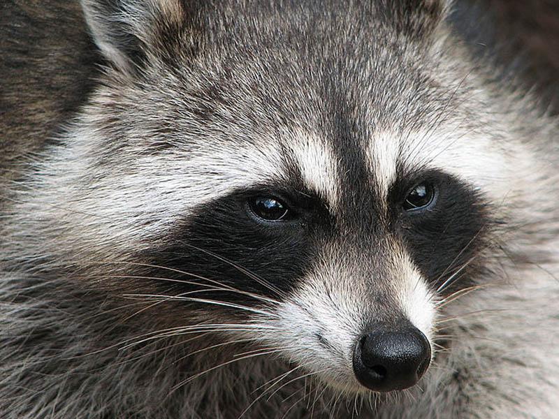 Raccoon - Subway