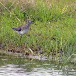 Solitary Sandpiper - Along the Shore