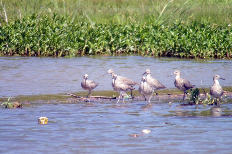 Willet – In a Shallow Pond