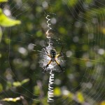 Black and Yellow Garden Spider - LISDOLA