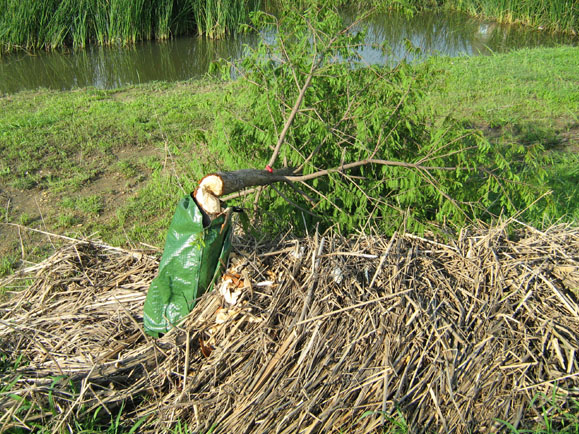 As you can see in this photograph, heavy spring rains caused flooding which washed enough debris up against the trunk of this tree to provide a ramp of sorts that the Beavers wasted no time in exploiting. With the ramp of reeds and other refuse in place, the Beavers were able to access the tree trunk just above the protective Gator Bag, and they took the tree down over the course of a single night.