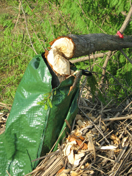 Here is a closeup of the Beaver's handy work. Notice how the Beaver took the tree down by attacking the trunk immediately above the top of the Gator Bag. Also note the wood shaving collected around the base of the tree.