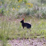 Eastern Cottontail - Arbor Hills Nature Preserve