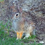 Eastern Cottontail - Playground Rabbits