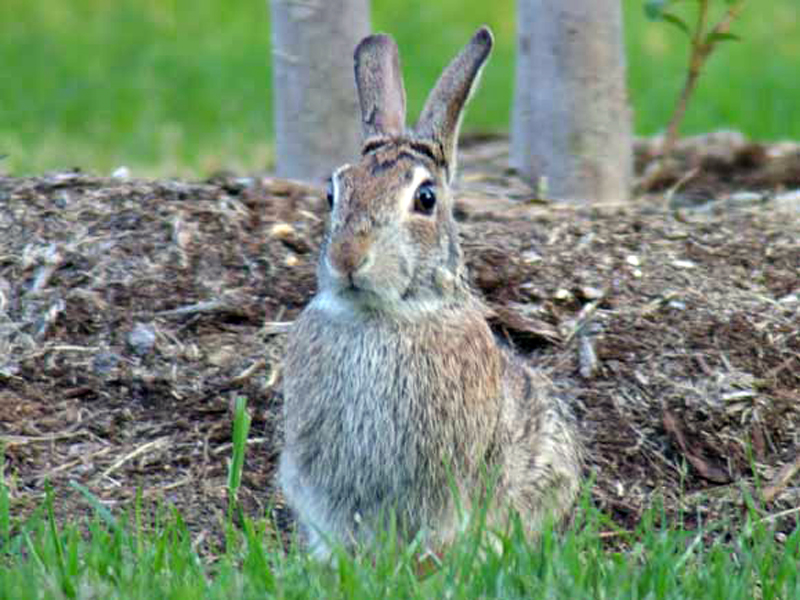 One last shot of the third Cottontail. By the time I took this picture I had closed to within 8 to 10 feet of the rabbit. He was very comfortable with my presence.