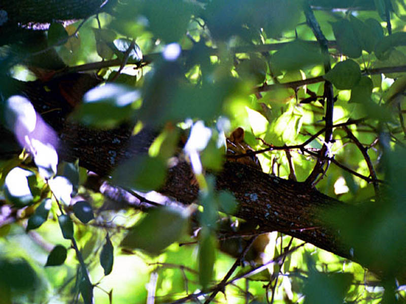 Fox Squirrel - Hiding in Plain Sight