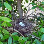 Mourning Dove - Nest Location
