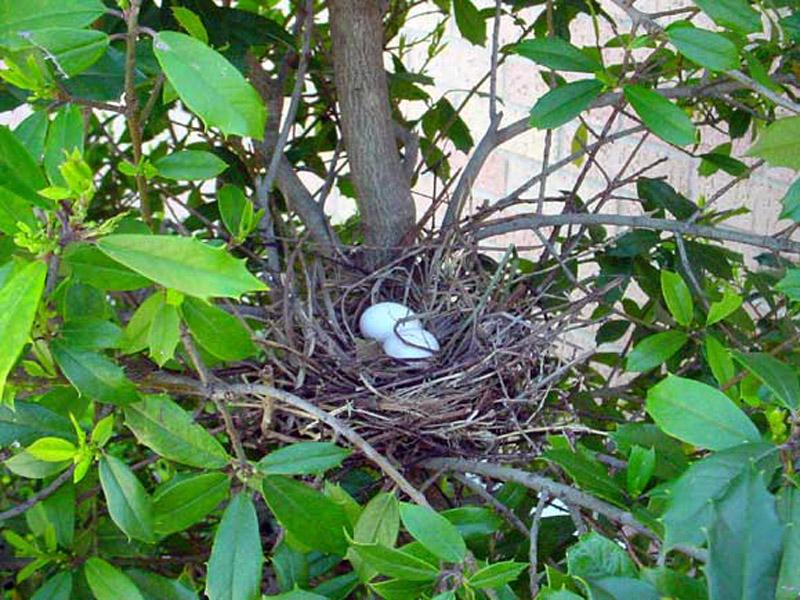 Mourning Dove Nest Mourning Dove – Nest...
