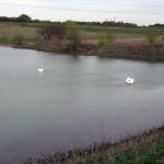 Mute Swan - A Pretty Pair
