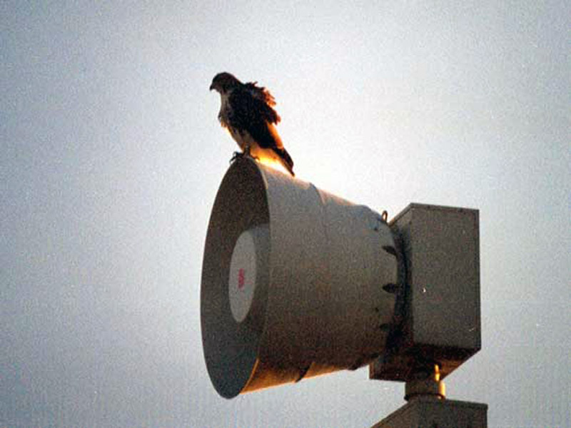Red-tailed Hawk - Civil Defense Siren