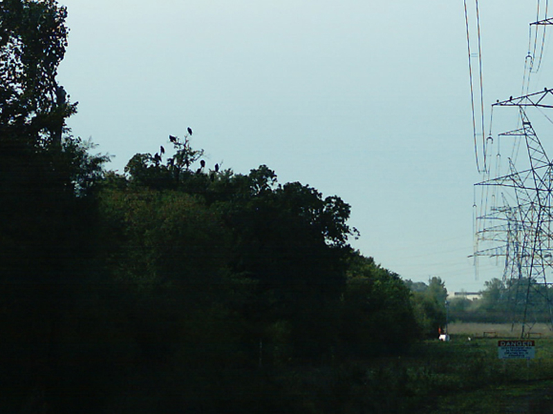 Another group of Turkey Vultures in the trees just to the east of the power line towers.