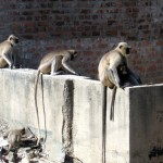 Journal - Urban Wildlife on the Indian Subcontinent