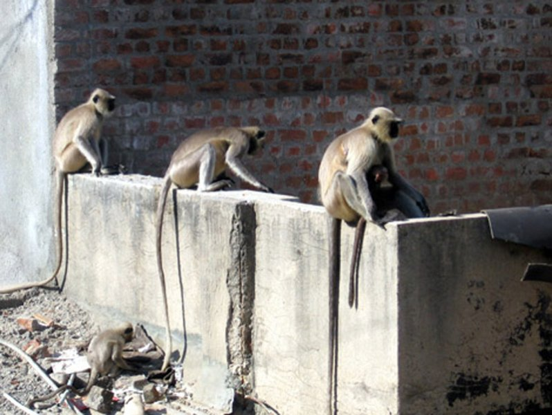 Black-faced Monkeys in Ahmedabad, India