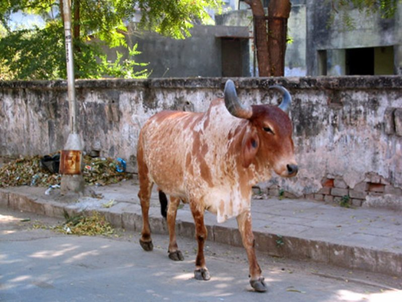 Cow in Ahmedabad, India