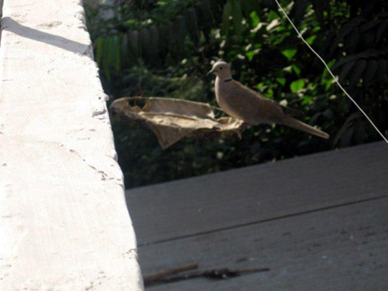 Eurasian Collared-Dove in Ahmedabad, India